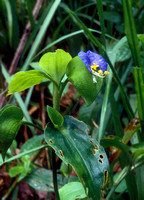 Asiatic Dayflower (Commelina erecta) P161
