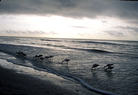White Ibises on Beach - Sanibel Island M092B.jpg