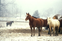 M 452 Horses at Shelby Farms in winter