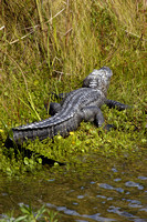 Alligator at Cameron Prairie Refuge (3).JPG