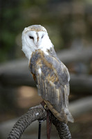 Barn Owl at Woodlands Nature Station 1).JPG