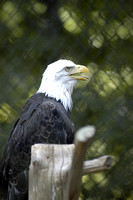 Bald Eagle at Woodlands Nature Station (1).JPG